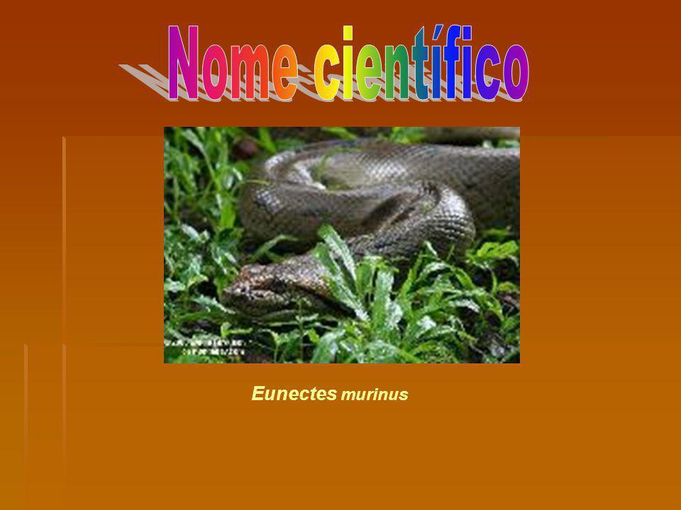 Nome científico Eunectes murinus