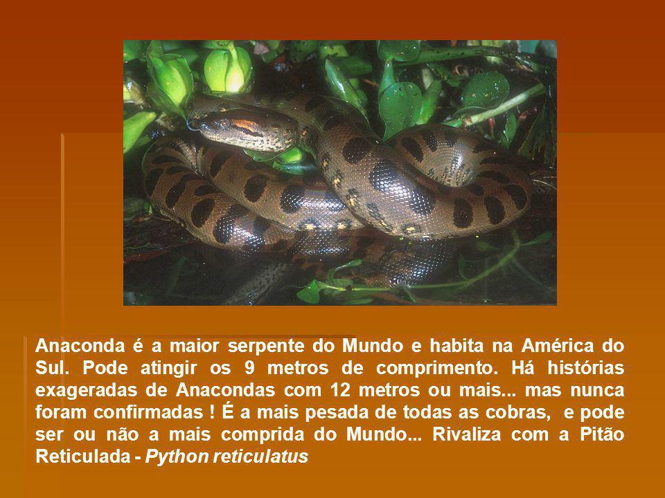 Anaconda é a maior serpente do Mundo e habita na América do Sul