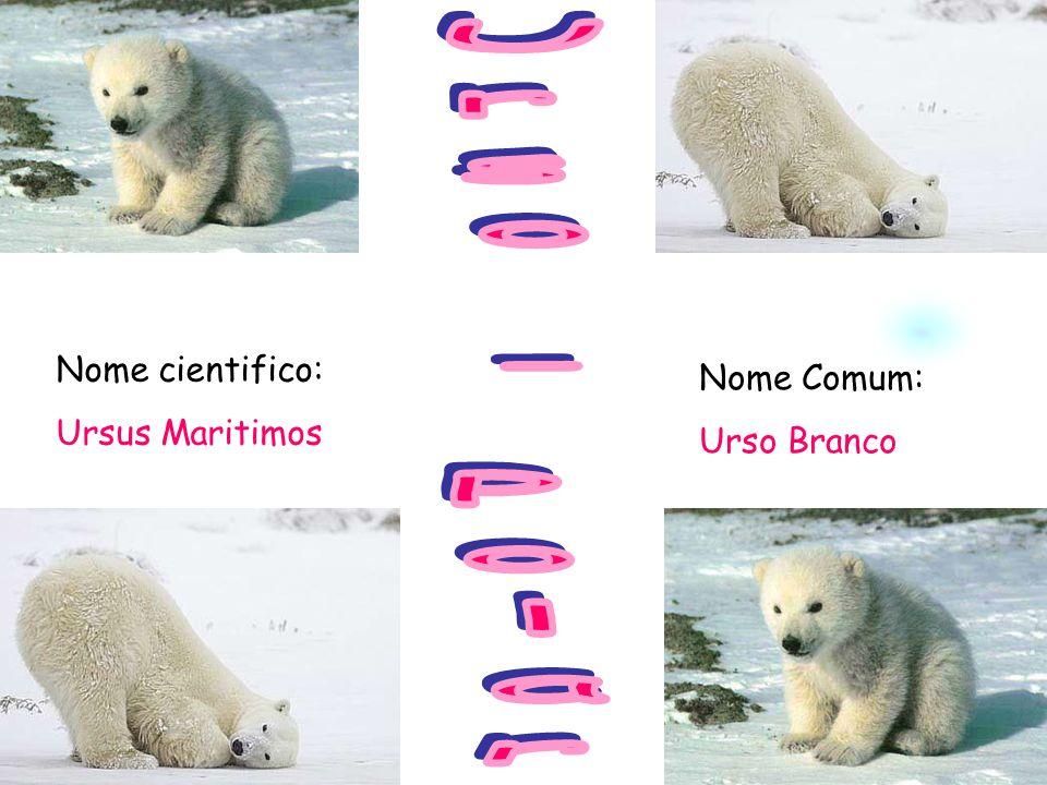 Urso - Polar Nome cientifico: Ursus Maritimos Nome Comum: Urso Branco