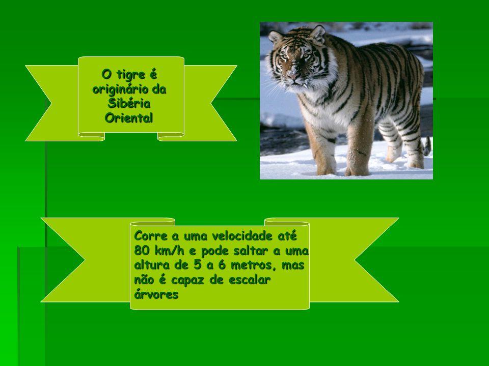 O tigre é originário da Sibéria Oriental