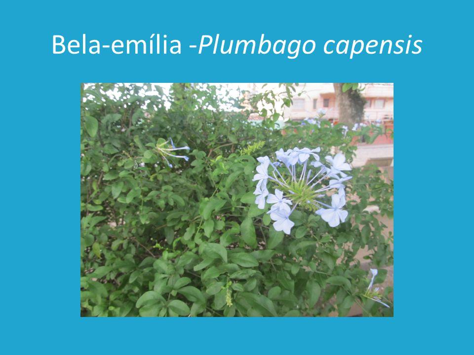 Bela-emília -Plumbago capensis