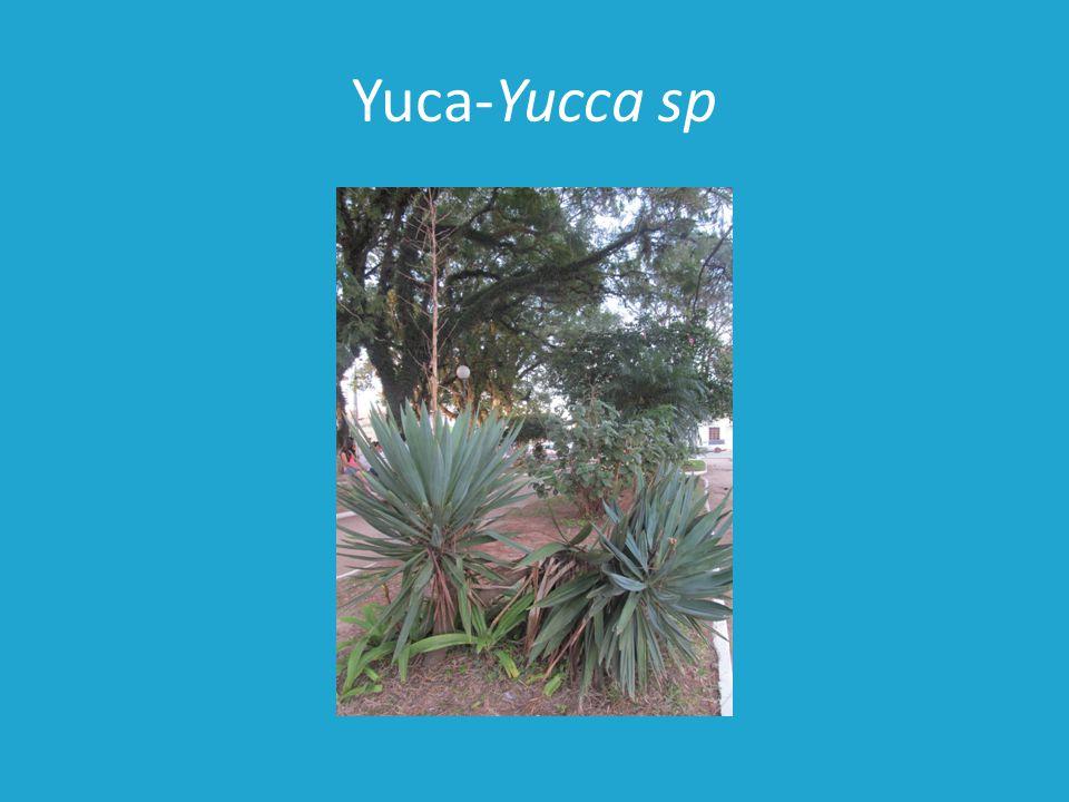 Yuca-Yucca sp