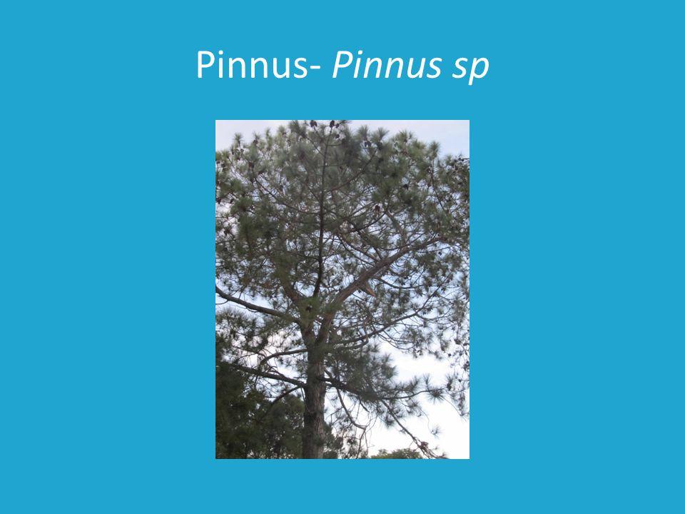 Pinnus- Pinnus sp