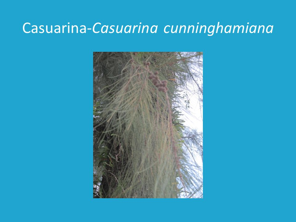 Casuarina-Casuarina cunninghamiana