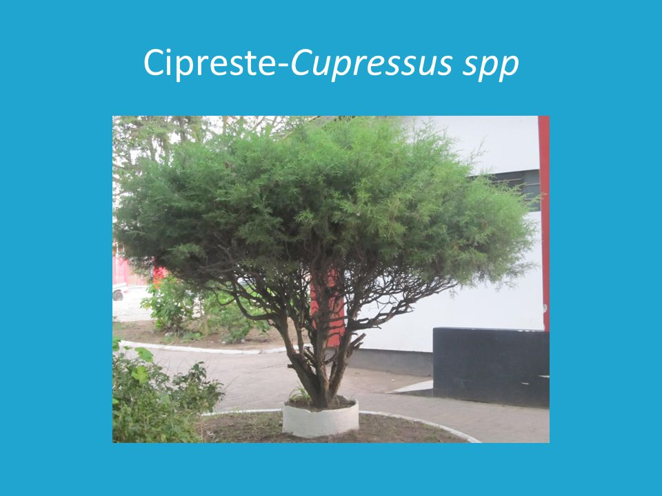 Cipreste-Cupressus spp