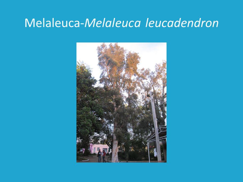 Melaleuca-Melaleuca leucadendron