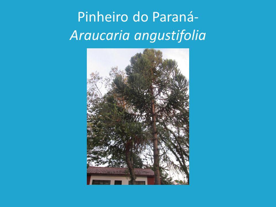 Pinheiro do Paraná- Araucaria angustifolia