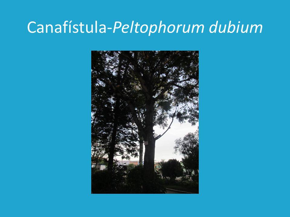 Canafístula-Peltophorum dubium