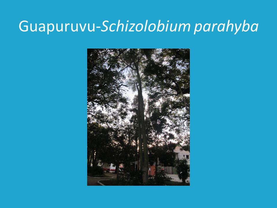 Guapuruvu-Schizolobium parahyba