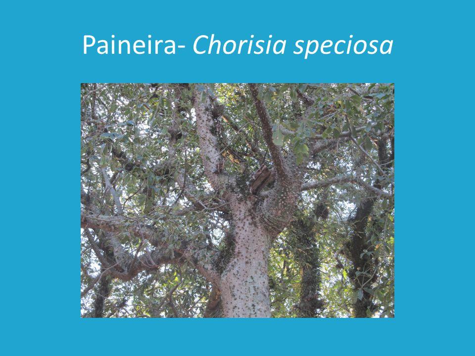 Paineira- Chorisia speciosa