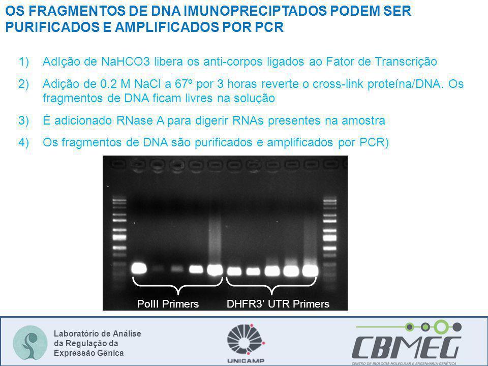 OS FRAGMENTOS DE DNA IMUNOPRECIPTADOS PODEM SER PURIFICADOS E AMPLIFICADOS POR PCR