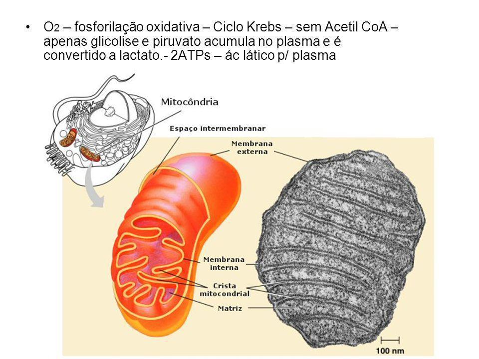 O2 – fosforilação oxidativa – Ciclo Krebs – sem Acetil CoA – apenas glicolise e piruvato acumula no plasma e é convertido a lactato.- 2ATPs – ác lático p/ plasma