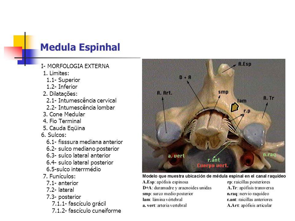 Medula Espinhal I- MORFOLOGIA EXTERNA 1. Limites: 1.1- Superior