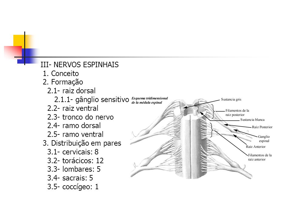 III- NERVOS ESPINHAIS 1. Conceito. 2. Formação. 2.1- raiz dorsal. 2.1.1- gânglio sensitivo. 2.2- raiz ventral.