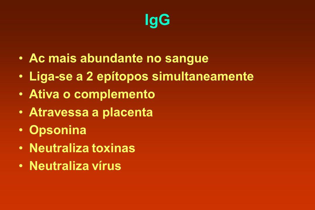 IgG Ac mais abundante no sangue Liga-se a 2 epítopos simultaneamente