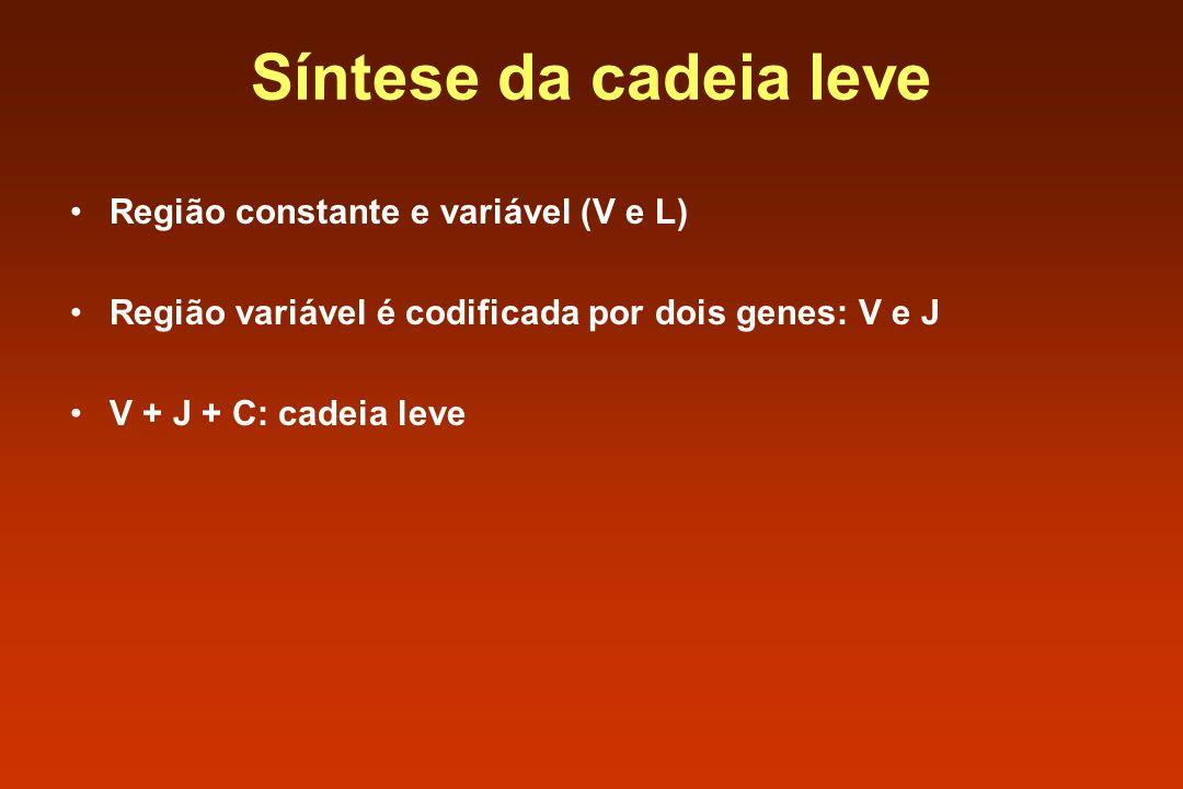 Síntese da cadeia leve Região constante e variável (V e L)