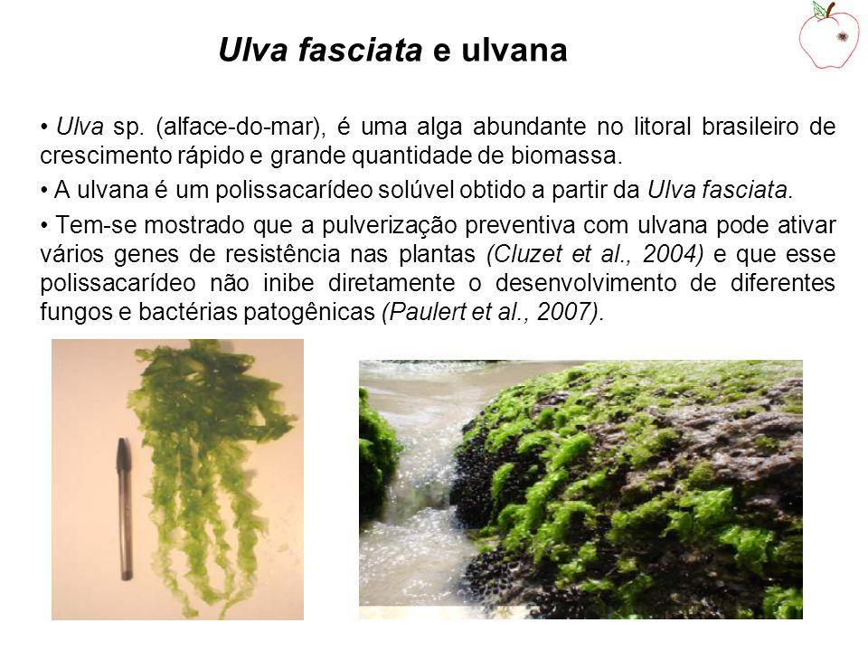 Ulva fasciata e ulvana Ulva sp. (alface-do-mar), é uma alga abundante no litoral brasileiro de crescimento rápido e grande quantidade de biomassa.