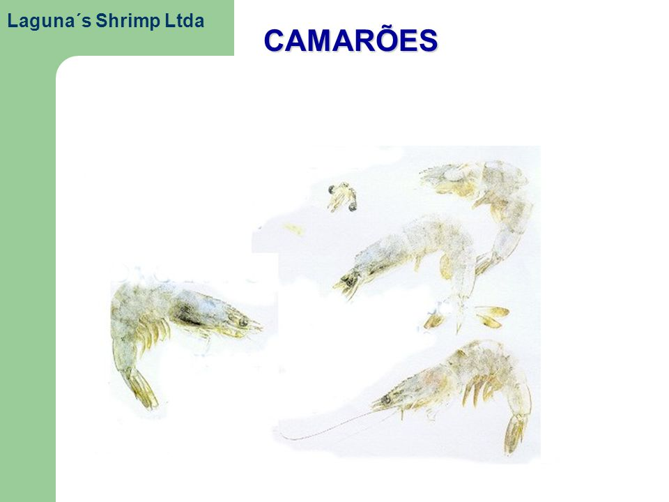 Laguna´s Shrimp Ltda CAMARÕES