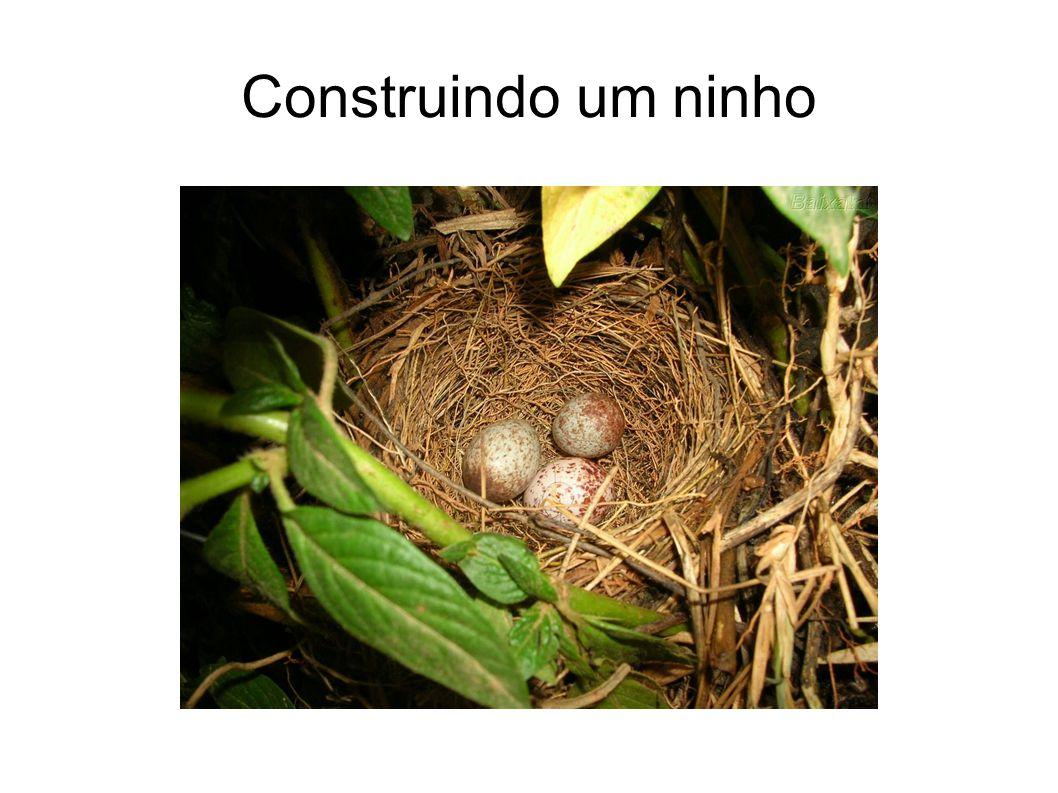 Construindo um ninho