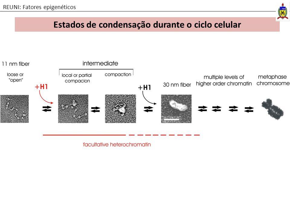 Estados de condensação durante o ciclo celular
