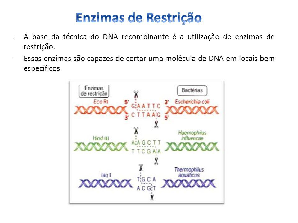 Enzimas de Restrição A base da técnica do DNA recombinante é a utilização de enzimas de restrição.