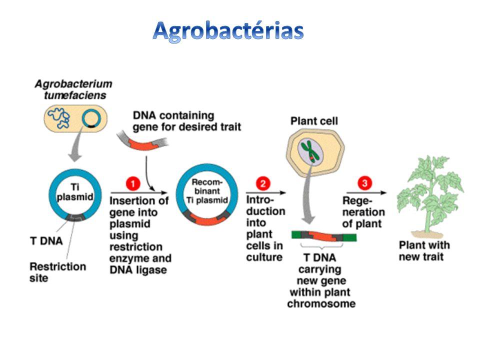 Agrobactérias