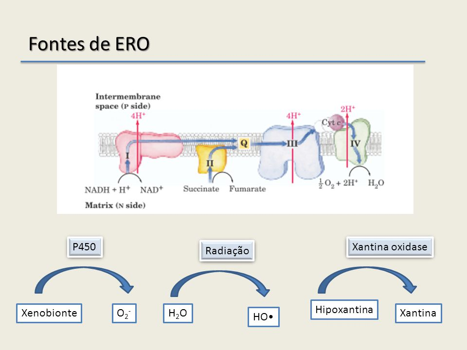 Fontes de ERO P450 Xantina oxidase Radiação Hipoxantina Xenobionte O2-