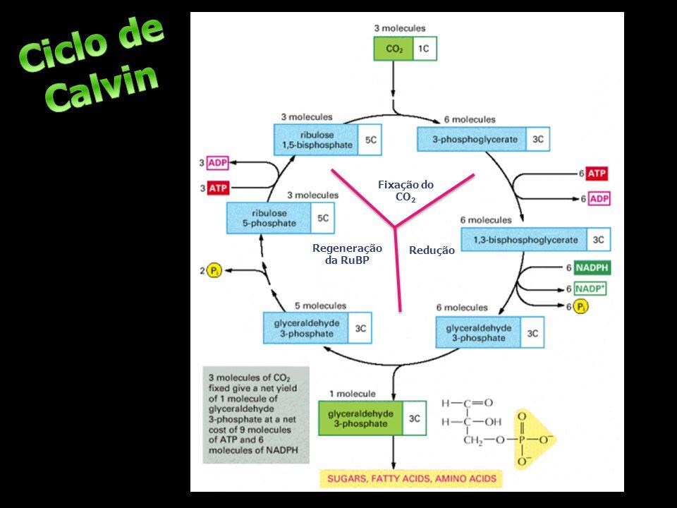 Ciclo de Calvin Fixação do CO2 Regeneração da RuBP Redução