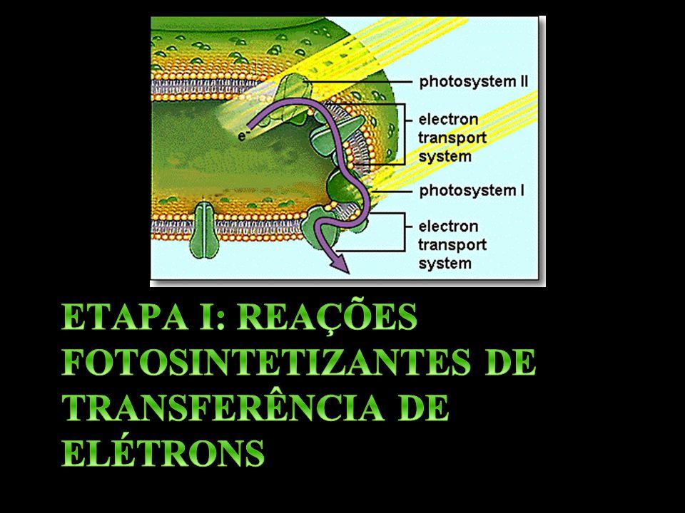 ETAPA I: REAÇÕES FOTOSINTETIZANTES DE TRANSFERÊNCIA DE ELÉTRONS