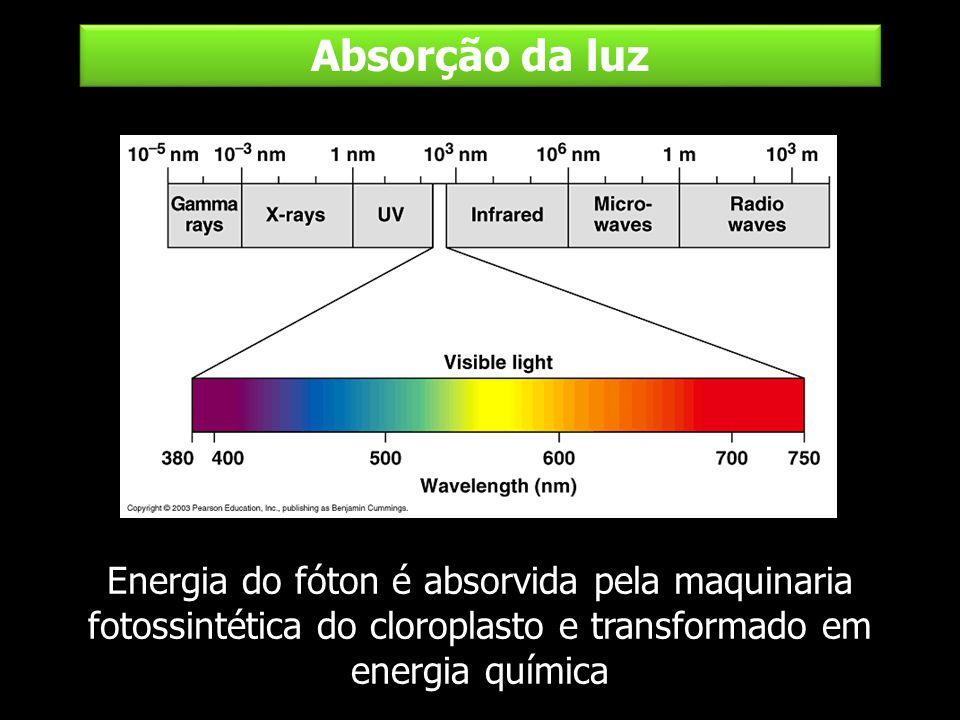 Absorção da luz Energia do fóton é absorvida pela maquinaria fotossintética do cloroplasto e transformado em energia química.