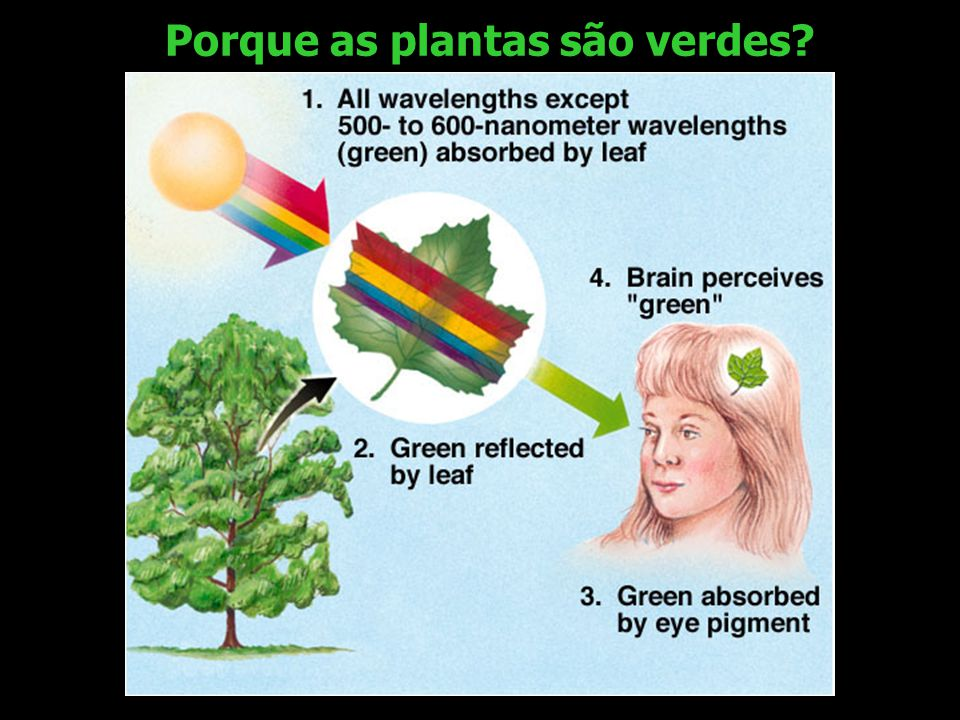 Porque as plantas são verdes
