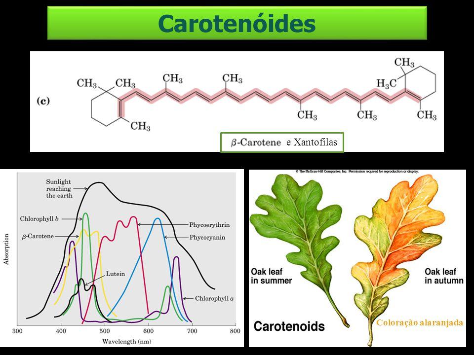 Carotenóides e Xantofilas Coloração alaranjada