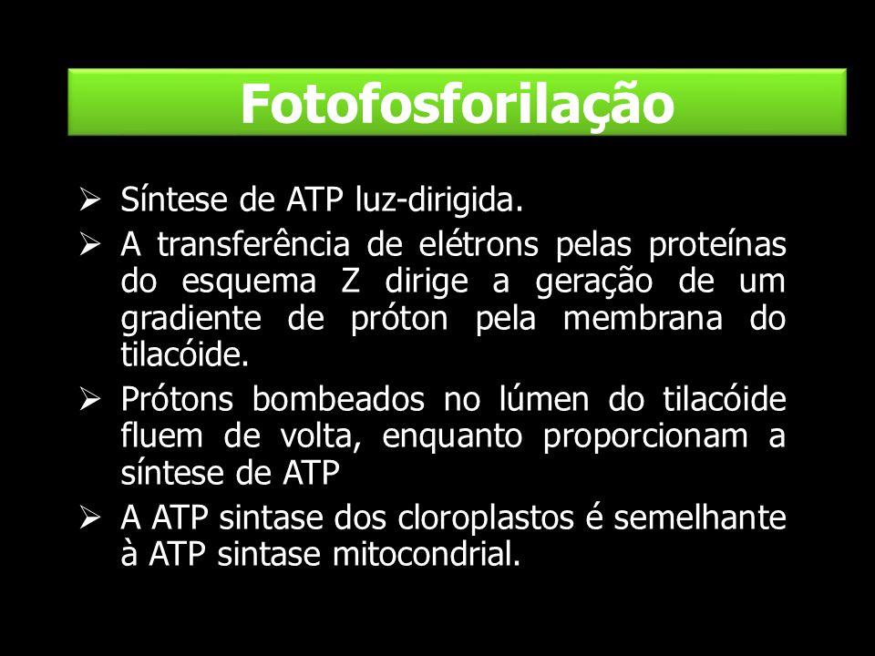 Fotofosforilação Síntese de ATP luz-dirigida.
