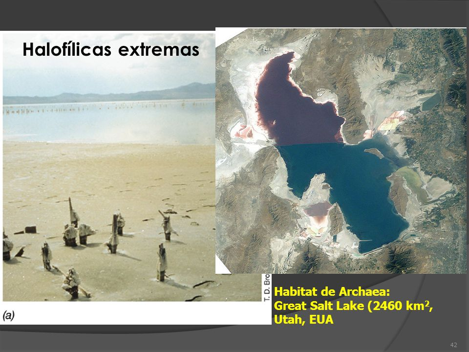 Halofílicas extremas Habitat de Archaea: Great Salt Lake (2460 km2,