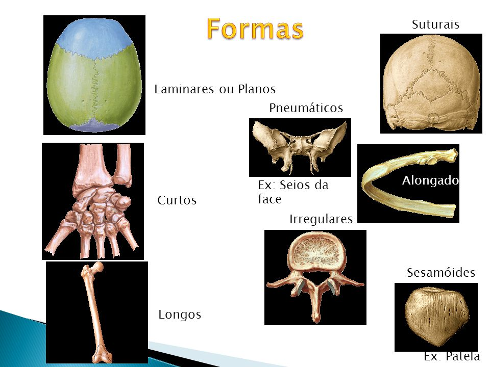 Formas Suturais Laminares ou Planos Pneumáticos Alongados