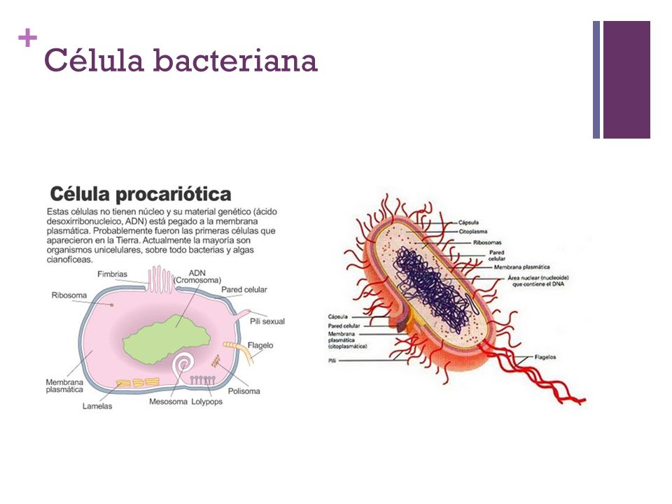 Célula bacteriana