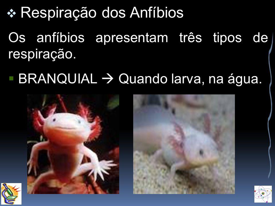 Os anfíbios apresentam três tipos de respiração.
