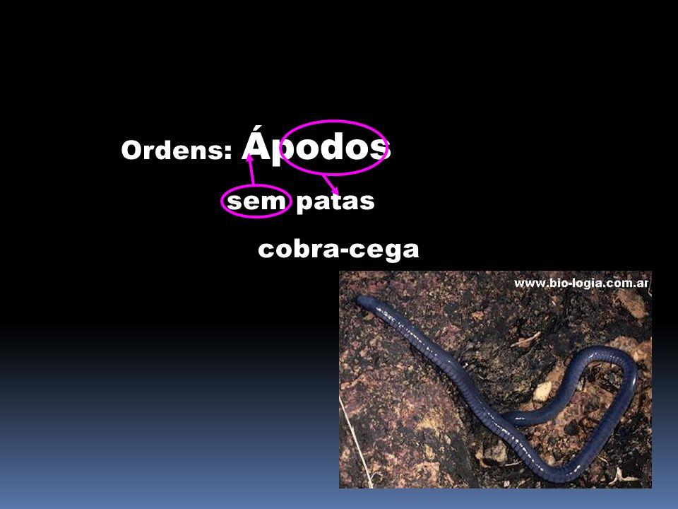 Ordens: Ápodos sem patas cobra-cega