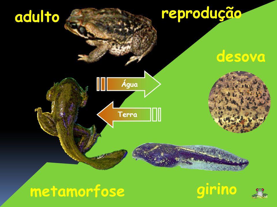 reprodução adulto desova girino metamorfose