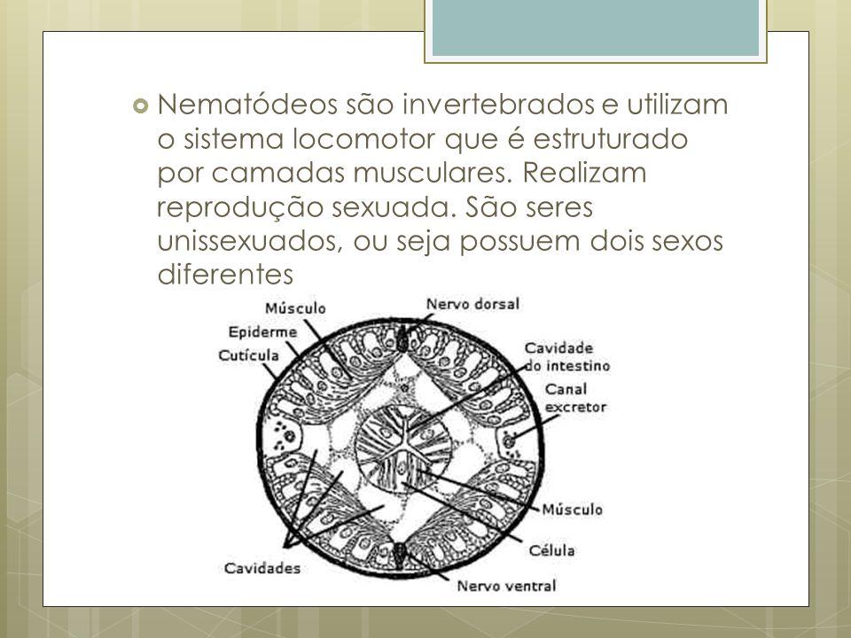 Nematódeos são invertebrados e utilizam o sistema locomotor que é estruturado por camadas musculares.