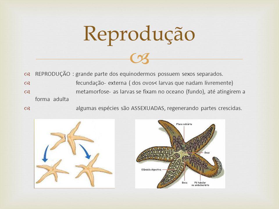 Reprodução REPRODUÇÃO : grande parte dos equinodermos possuem sexos separados. fecundação- externa ( dos ovos< larvas que nadam livremente)