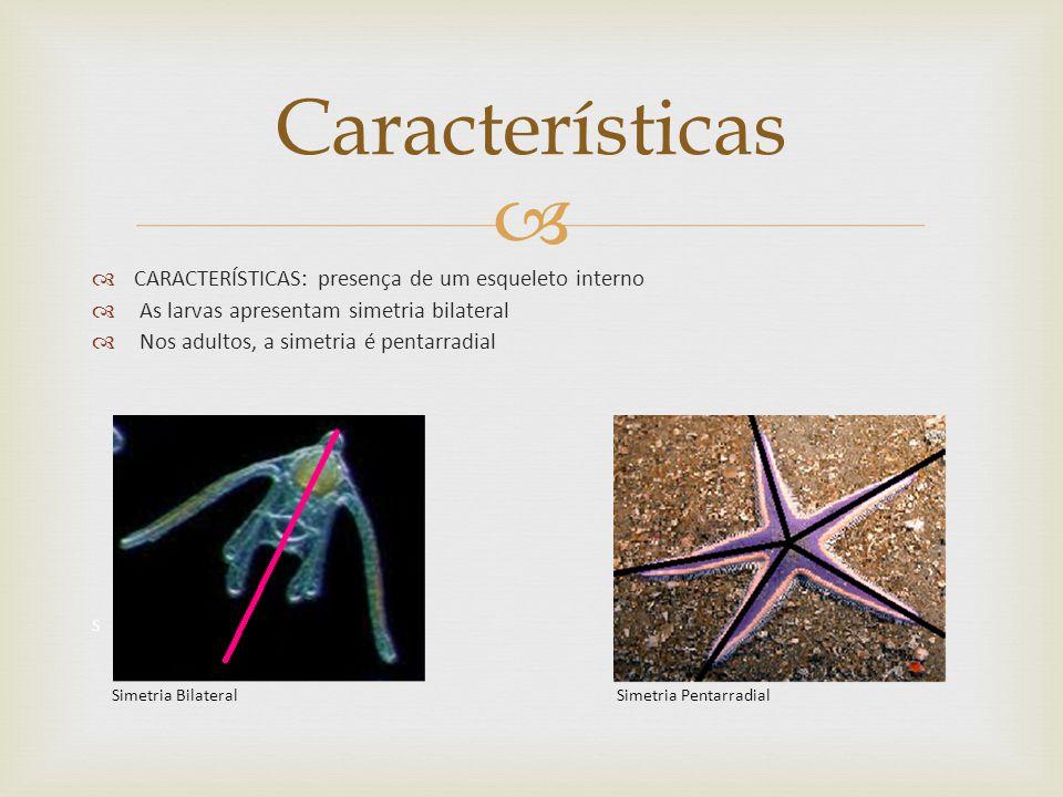 Características CARACTERÍSTICAS: presença de um esqueleto interno