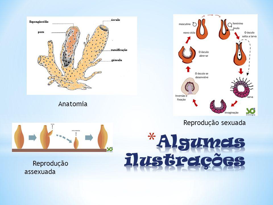 Anatomia Reprodução sexuada Algumas ilustrações Reprodução assexuada