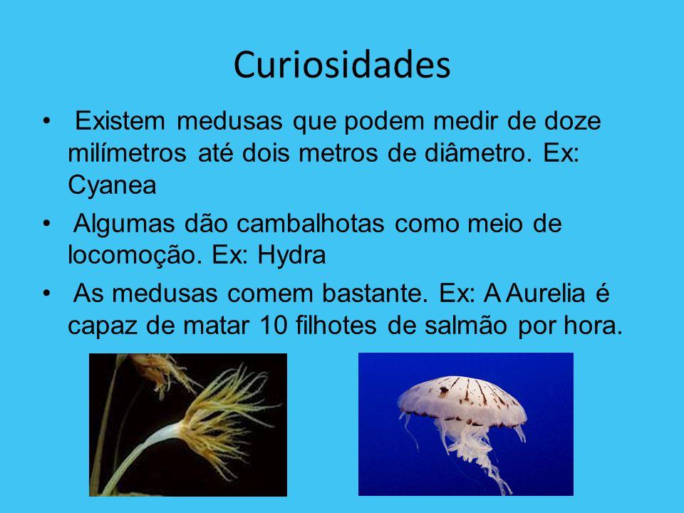 Curiosidades Existem medusas que podem medir de doze milímetros até dois metros de diâmetro. Ex: Cyanea.