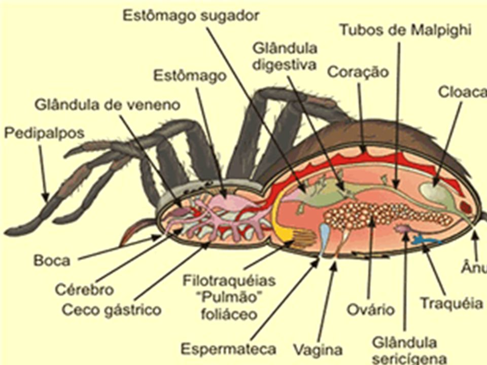 Reprodução dos aracnídeos: