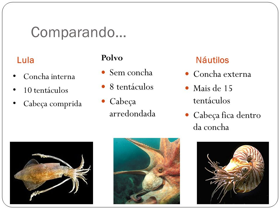 Comparando... Sem concha Concha externa 8 tentáculos