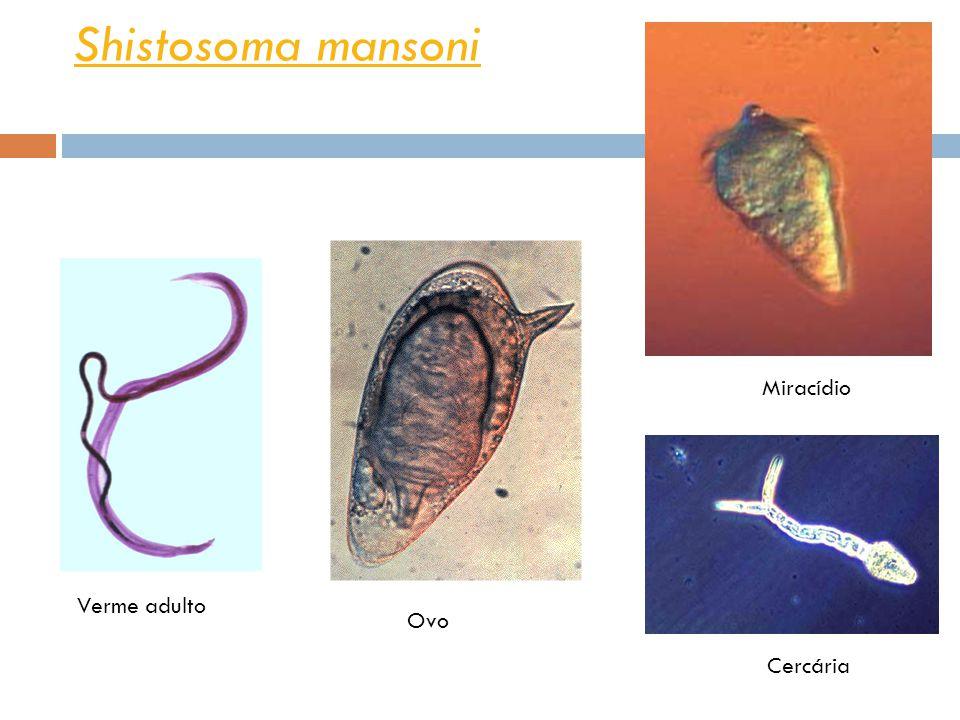 Shistosoma mansoni Miracídio Verme adulto Ovo Cercária