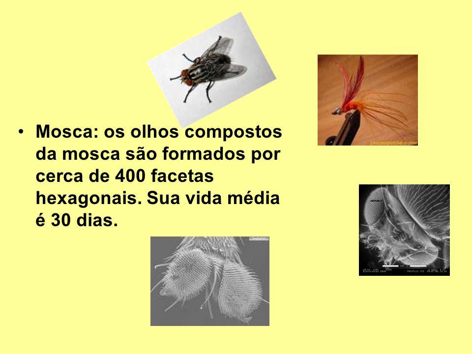 Mosca: os olhos compostos da mosca são formados por cerca de 400 facetas hexagonais.