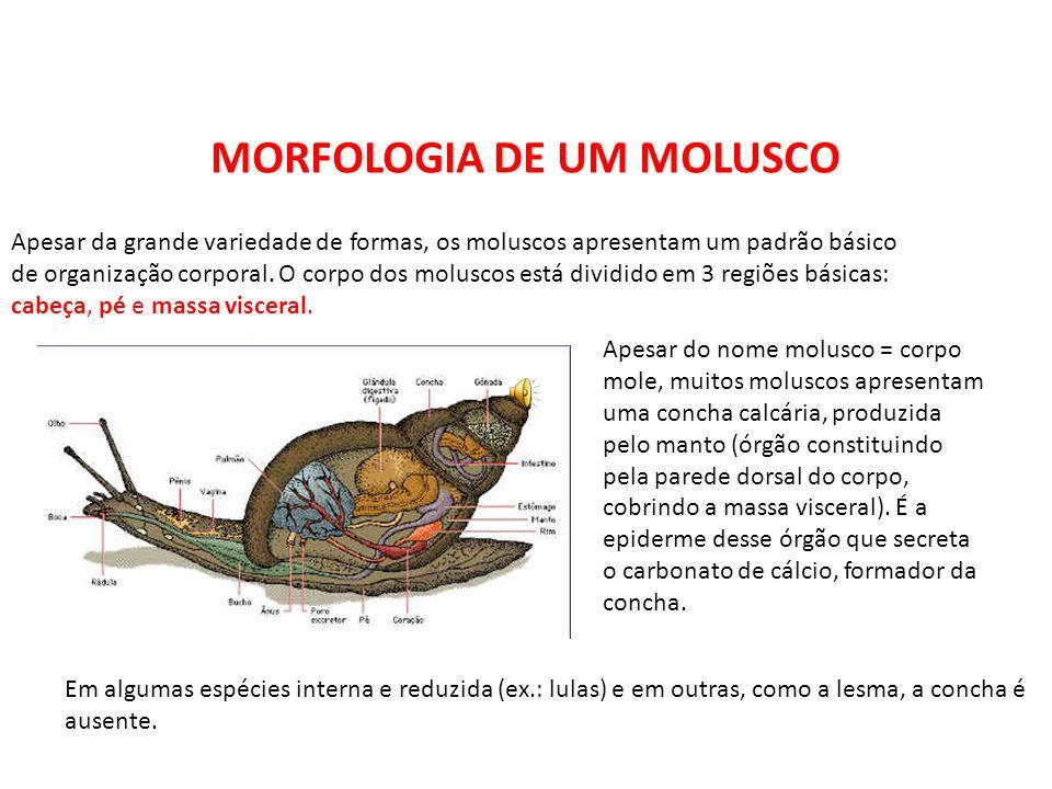 MORFOLOGIA DE UM MOLUSCO