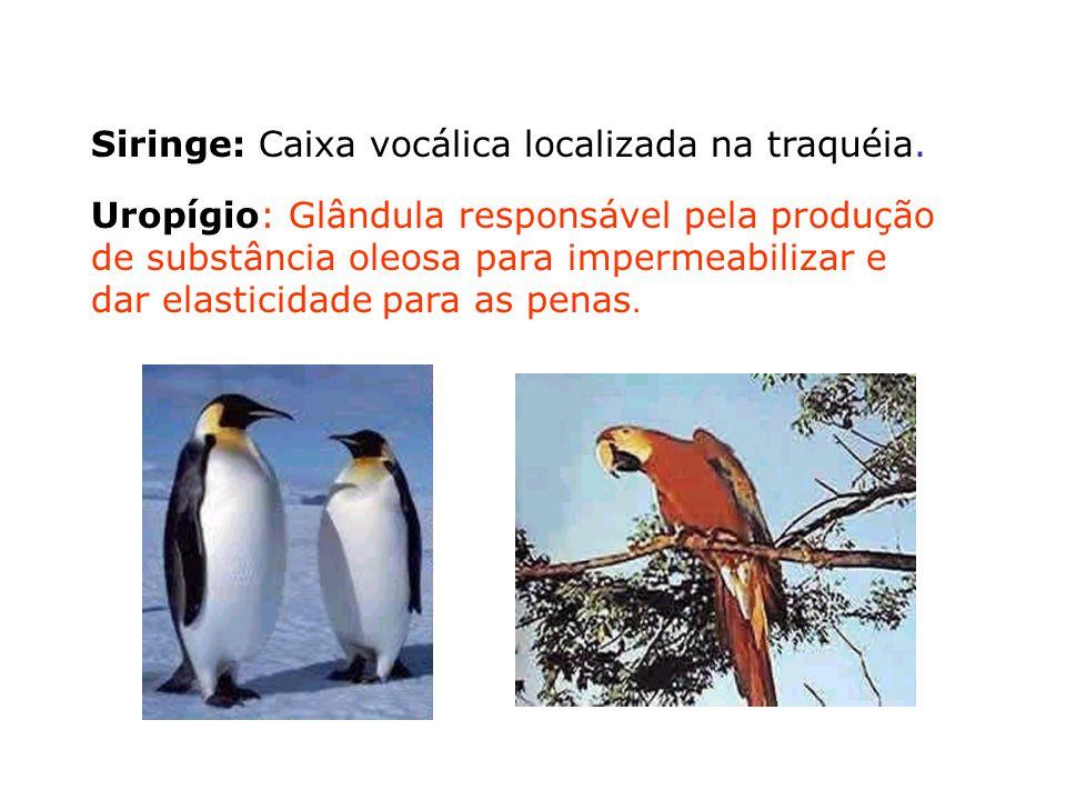 Siringe: Caixa vocálica localizada na traquéia.